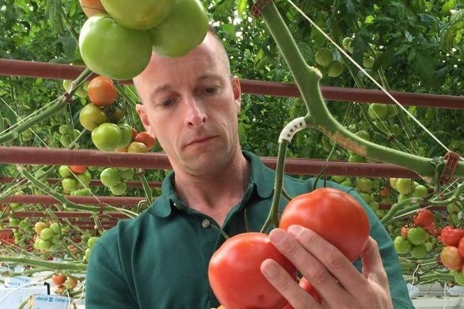 Nhà kính trồng cà chua bằng nước biển đầu tiên trên thế giới ảnh 1