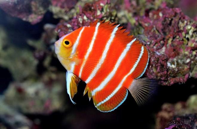 Chiêm ngưỡng 5 loài cá cảnh quý hiếm giá tiền tỷ ảnh 4