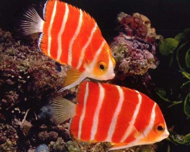 Chiêm ngưỡng 5 loài cá cảnh quý hiếm giá tiền tỷ ảnh 5