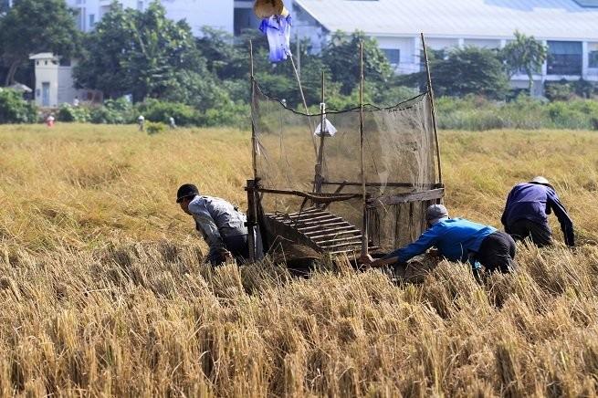 Lên Sài Gòn gặt lúa thuê kiếm tiền ăn tết ảnh 2