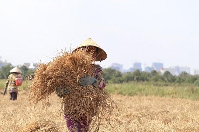 Lên Sài Gòn gặt lúa thuê kiếm tiền ăn tết ảnh 6