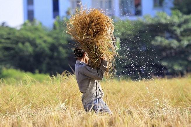 Lên Sài Gòn gặt lúa thuê kiếm tiền ăn tết ảnh 4