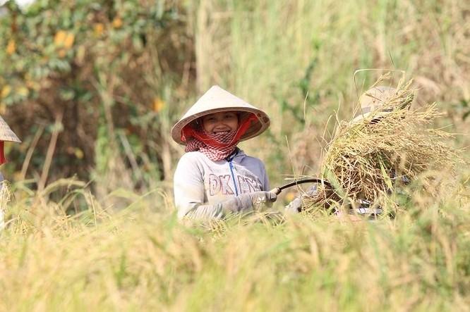 Lên Sài Gòn gặt lúa thuê kiếm tiền ăn tết ảnh 1
