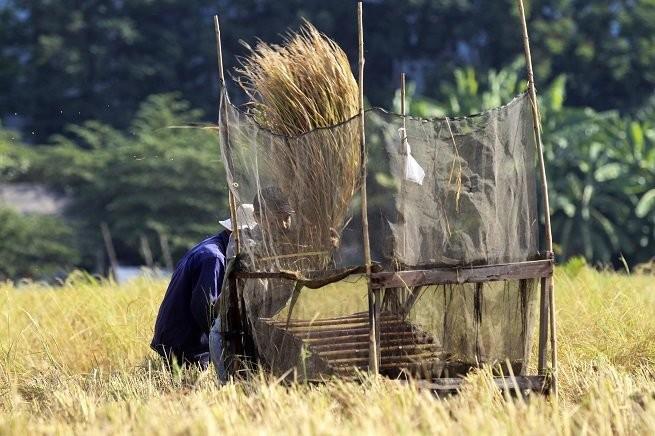 Lên Sài Gòn gặt lúa thuê kiếm tiền ăn tết ảnh 5