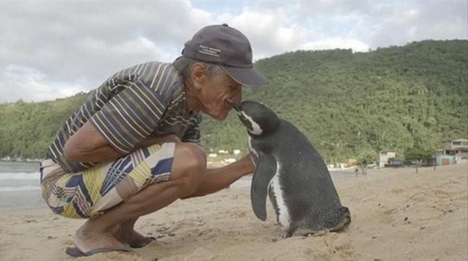 Chú chim cánh cụt mỗi năm vượt 8.000km thăm người cứu mạng ảnh 1