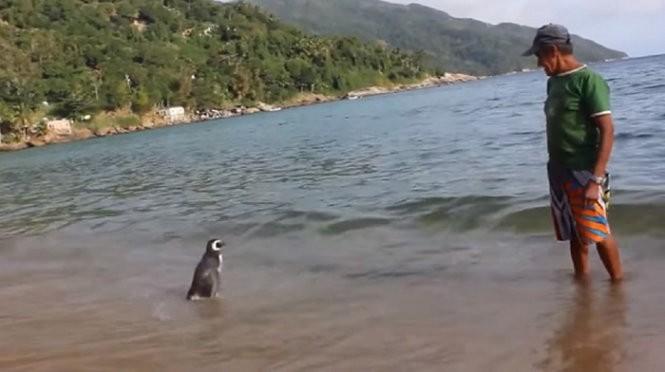 Chú chim cánh cụt mỗi năm vượt 8.000km thăm người cứu mạng ảnh 3