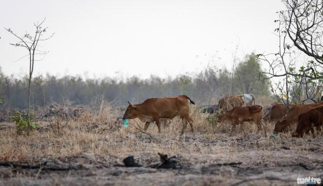 Nắng hạn bò ăn rác, chết hàng trăm con ảnh 1