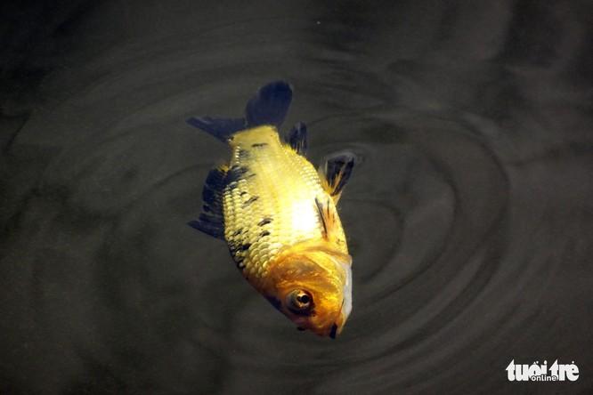 Cá cúng ông Táo vừa thả đã bị xuyệt điện ngắc ngoải - Ảnh 4.