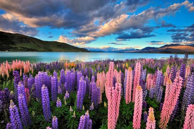 Hoa lupin tại hồ Tekapo ở New Zealand