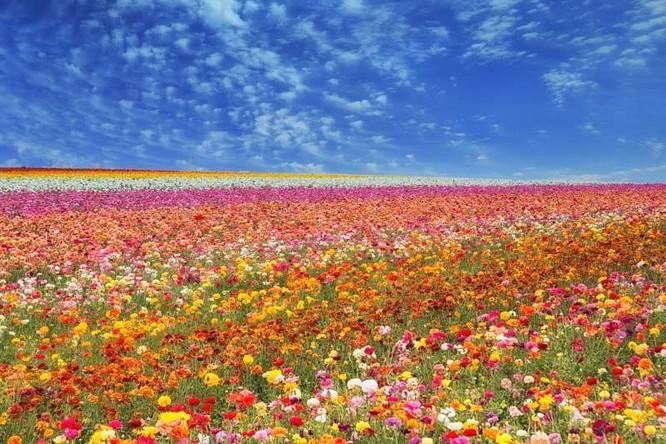 Cánh đồng hoa ở Carlsbad, California, Mỹ