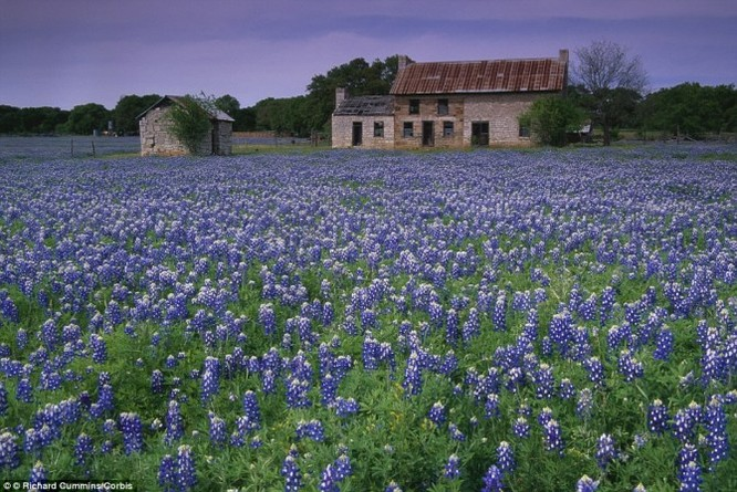 Texas còn được biết đến là kinh đô của loài hoa bluebonnet