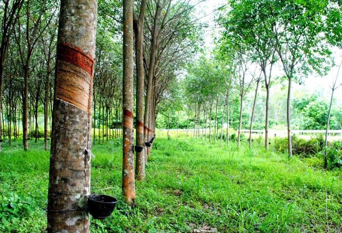 ĐBQH nói cây cao su thải CO2 là thiếu khoa học nhưng gióng lên tiếng chuông báo động về rừng ảnh 2