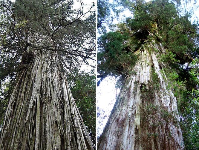 """Top 10 cây """"già"""" nhất thế giới ảnh 3"""