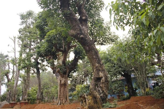 Vườn cây bóng mát 40 tỷ của đại gia Hà Thành ảnh 2