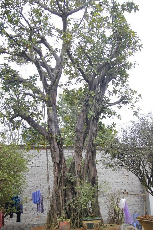 Vườn cây bóng mát 40 tỷ của đại gia Hà Thành ảnh 1