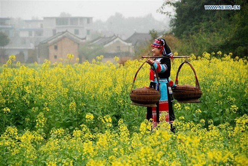 Những cánh đồng hoa cải dầu vàng rực tuyệt đẹp ảnh 1