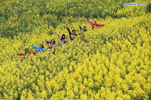 Những cánh đồng hoa cải dầu vàng rực tuyệt đẹp ảnh 2