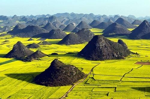 Những cánh đồng hoa cải dầu vàng rực tuyệt đẹp ảnh 4