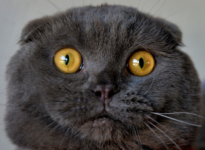 Mèo tai cụp tại triển lãm ở thủ đô Bishkek