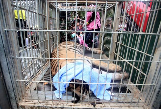 Video: 40 xác hổ đông lạnh trong ngôi đền thờ hổ nổi tiếng ảnh 8