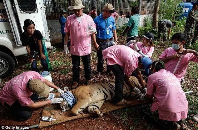 Video: 40 xác hổ đông lạnh trong ngôi đền thờ hổ nổi tiếng ảnh 9
