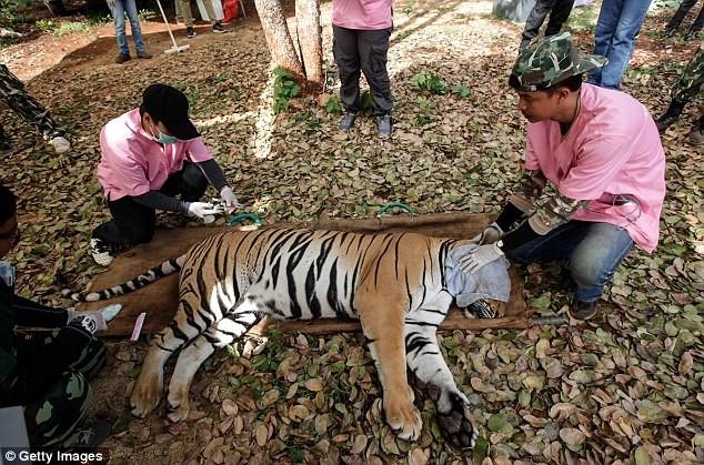 Video: 40 xác hổ đông lạnh trong ngôi đền thờ hổ nổi tiếng ảnh 10