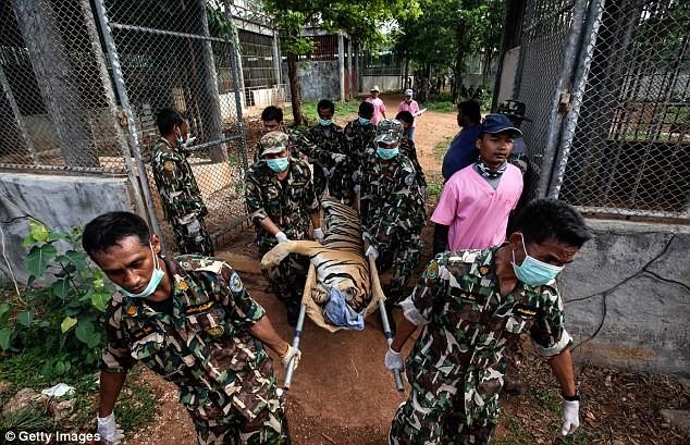 Video: 40 xác hổ đông lạnh trong ngôi đền thờ hổ nổi tiếng ảnh 11