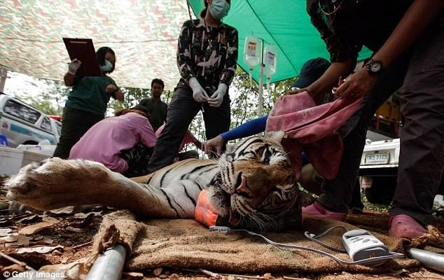 Video: 40 xác hổ đông lạnh trong ngôi đền thờ hổ nổi tiếng ảnh 12