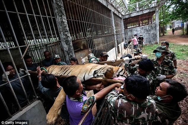 Video: 40 xác hổ đông lạnh trong ngôi đền thờ hổ nổi tiếng ảnh 15