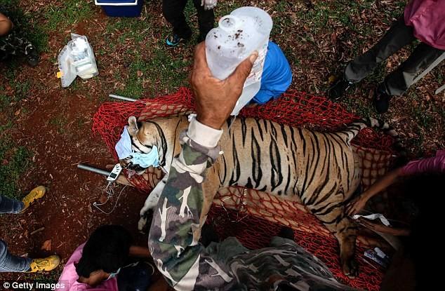 Video: 40 xác hổ đông lạnh trong ngôi đền thờ hổ nổi tiếng ảnh 16