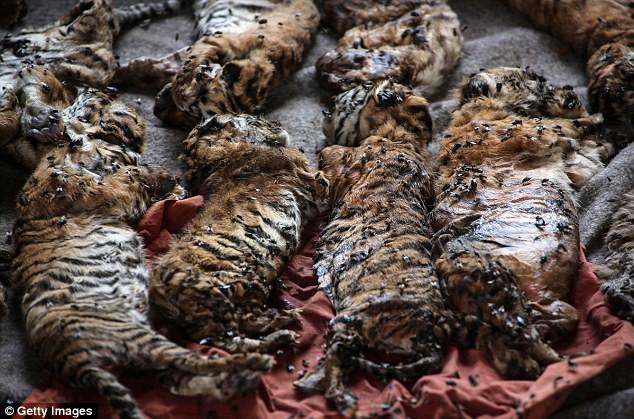 Video: 40 xác hổ đông lạnh trong ngôi đền thờ hổ nổi tiếng ảnh 2