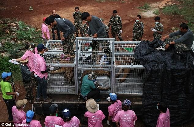 Video: 40 xác hổ đông lạnh trong ngôi đền thờ hổ nổi tiếng ảnh 6