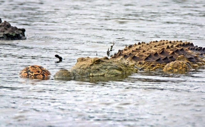Hài hước cảnh cá sấu nuốt chửng rùa bất thành ảnh 1