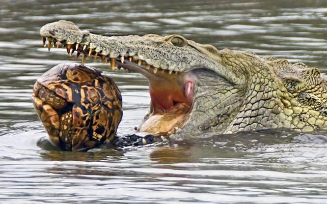 Hài hước cảnh cá sấu nuốt chửng rùa bất thành ảnh 2