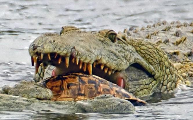 Hài hước cảnh cá sấu nuốt chửng rùa bất thành ảnh 3