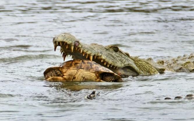 Hài hước cảnh cá sấu nuốt chửng rùa bất thành ảnh 4