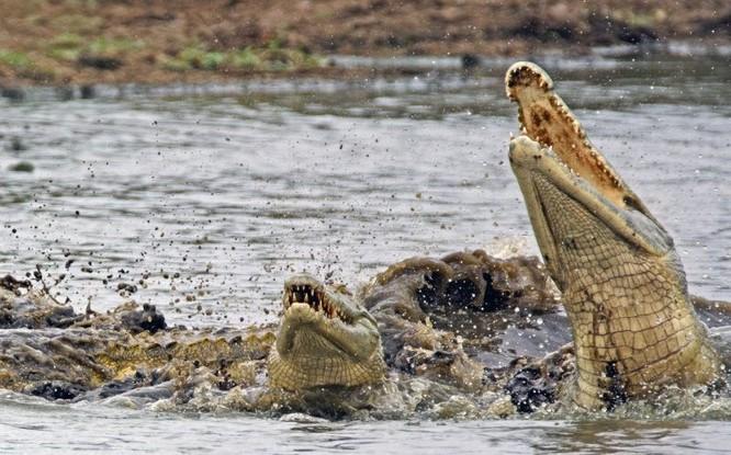 Hài hước cảnh cá sấu nuốt chửng rùa bất thành ảnh 5
