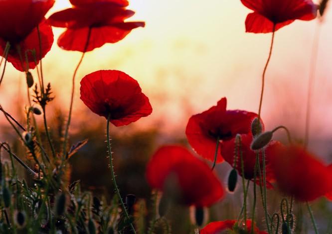 Hoa anh túc lúc mặt trời mọc ở làng Chernopole ngoại ô Crưm