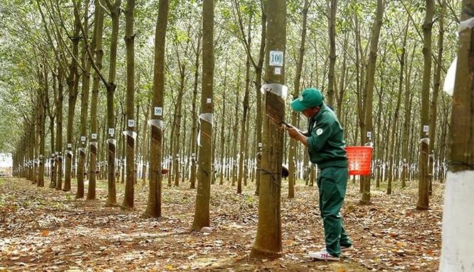 """Đại biểu Quốc hội nói """"cây cao su thải khí CO2 là xuất phát từ cảm xúc cá nhân"""" ảnh 1"""