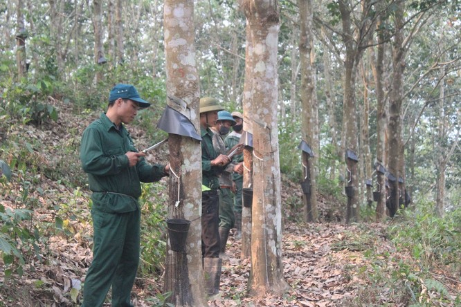 GS. Hoàng Hòe: Cần nghiêm túc đánh giá để quy hoạch lại diện tích cao su tại Việt Nam ảnh 2