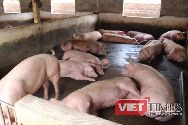 Đàn lợn nhà chị Ngoan đang