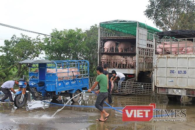 """Những chú lợn đang được """"tắm gội"""" trước khi"""