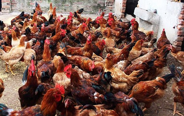 Nóng: WHO, FAO cảnh báo Việt Nam về virus cúm A (H5N8) lần đầu tiên lây từ gia cầm sang người ảnh 1