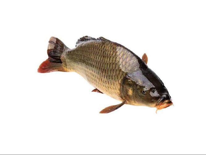 Nuốt mật cá chép sống, người đàn ông đi ngoài liên tục vì ngộ độc ảnh 1