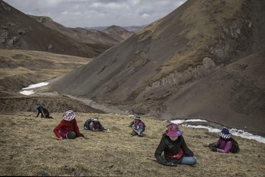 Phóng viên ảnh của Getty Kevin Frayer đã dành thời gian tiếp xúc và ghi lại cuộc sống của người dân cao nguyên Tây Tạng, phía tây bắc Trung Quốc. Anh Frayer ấn tượng trước cảnh người dân nơi đây đổ xô săn tìm đông trùng hạ thảo trên những dãy núi cao tới 4.500 m và khó tiếp cận.