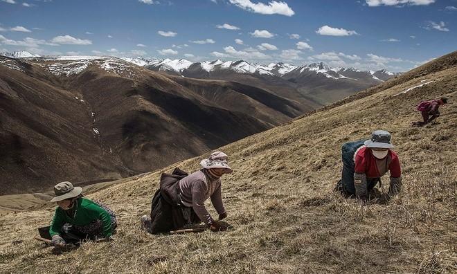 Thời tiết bắt đầu sang hè là thời điểm bận rộn nhất của dân du mục Tây Tạng khi họ phơi mình trên những dãy núi để tìm đông trùng hạ thảo.