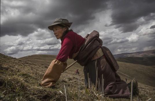 Săn tìm đông trùng hạ thảo trên núi cao 4.500 m ảnh 4
