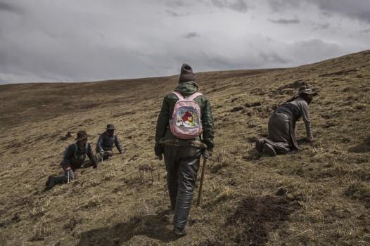 Để thu được loại nấm với chất lượng cao và giá trị nhất, người dân du mục phải leo tới những dãy núi cao.
