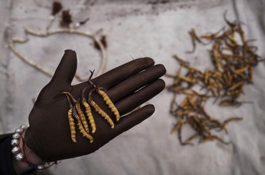 Dù chưa có con số chính thức về giá bán đông trùng hạ thảo, một số báo cáo cho thấy, loại nấm này có thể được bán với giá lên tới 50.000 USD/450gram.
