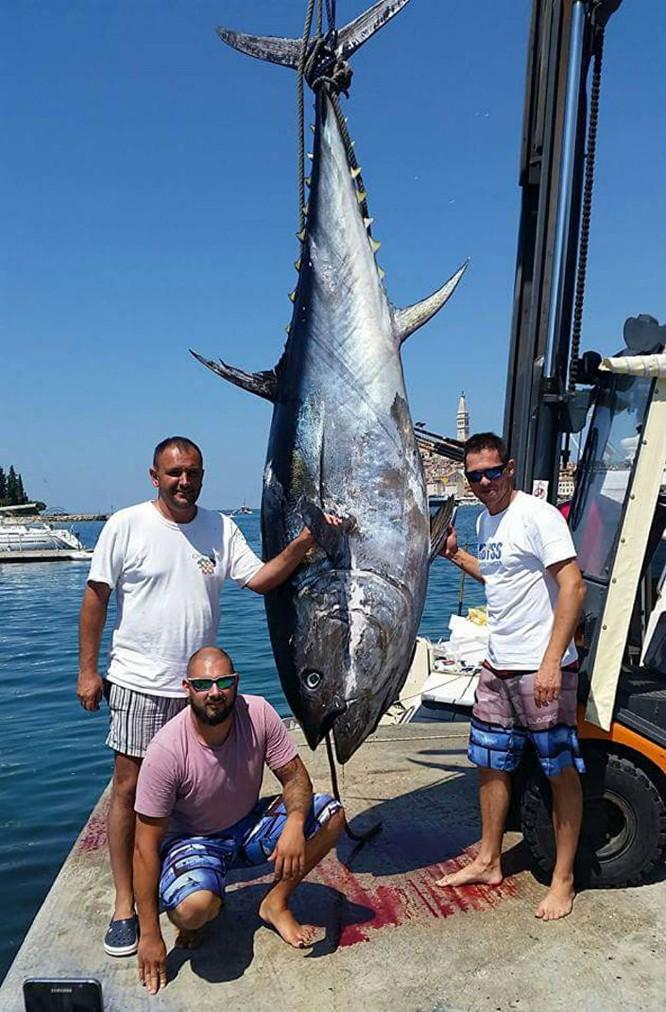 Bắt được con cá ngừ vây xanh to kỷ lục ở vùng biển Adriatic ảnh 1